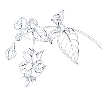 Graphic Drawing Of Flowers And Branches Of Fuchsia