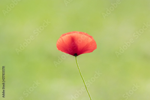 Beautiful poppy on a green background