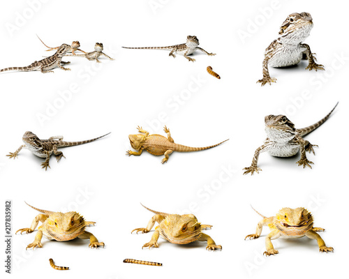 Agama. Set of Bearded dragon.