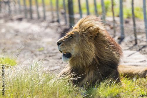 Foto op Plexiglas Leeuw Lion South Africa Safari