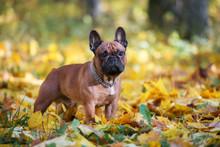Beautiful French Bulldog Posing Outdoors In Autumn