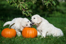 Two Golden Retriever Puppies Playing With Pumpkins