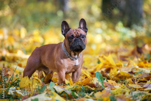 beautiful french bulldog posing outdoors in autumn Canvas Print