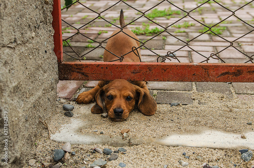 Fotografie, Obraz  little dachshund puppy stuck his head under the fence