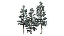 Colorado Blue Spruce Winter Tr...