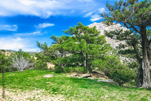 Spoed Foto op Canvas Khaki Pine trees forest. Nature landscape with blue sky
