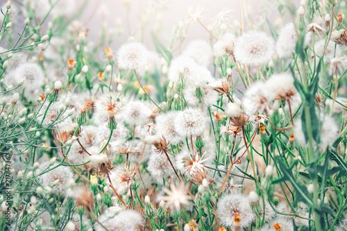 Szare   polne-kwiaty-dmuchawce