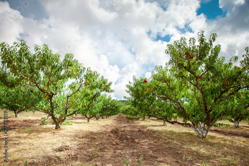 Fotografia Peach tree with fruits growing in the garden. Peach orchard.