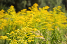Blossoming Goldenrod. Solidago...