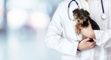 Fototapeta Zwierzęta - Small cute dog examined at the veterinary doctor, close-up