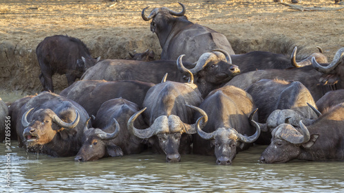Tuinposter Buffel African buffalo in Kruger National park, South Africa ; Specie Syncerus caffer family of Bovidae