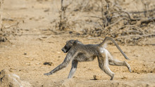 Chacma Baboon In Kruger National Park, South Africa