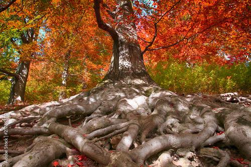 Obraz na plátně old beech tree with nice roots