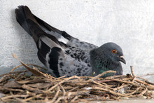 The Pigeon Nests On The Ledge Of The House Over Street. Pigeon Sits On A Nest In The City Center.