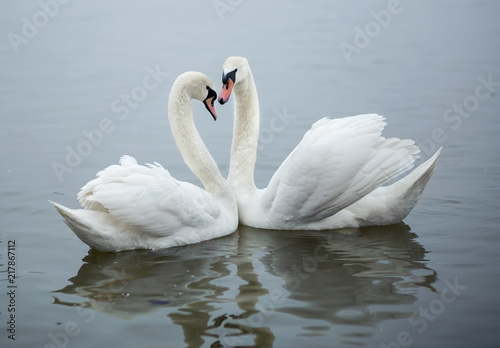 Poster Cygne Pair of swans swimming in a pond and kissing heart shape