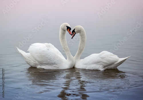 Pair of swans swimming in a pond and kissing heart shape