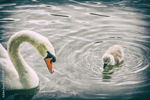 Staande foto Zwaan White mother swan swim with her young, analog filter