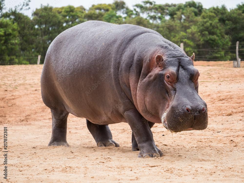 Fototapeta Common hippopotamus, hippopotamus amphibius, or hippo is common to Africa.
