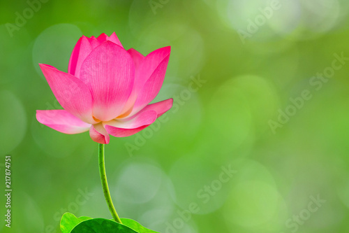 Foto op Canvas Lotusbloem Royalty high quality free stock image of a pink lotus flower. The background is the lotus leaf and pink lotus flower and lotus bud in a pond