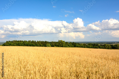 wheat field in sunlight and blue sky