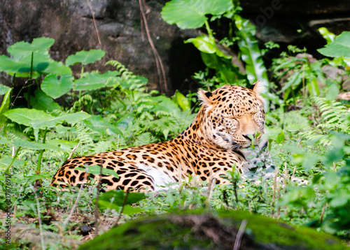 Tuinposter Luipaard Leopard resting in middle of green nature with open eyes