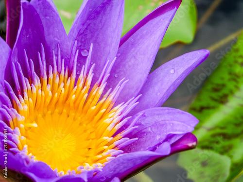 Foto op Canvas Lotusbloem purple lotus flower blooming on water surface