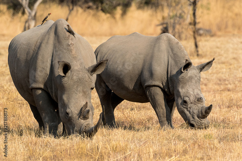 White rhino mother and calf photographed in South Africa