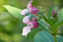 Close-up Photo Of Pink Flowers With Hooded Shape On Green Blurred Background.  Himalayan Balsam (Impatiens Glandulifera) Is Also Named Policeman's Helmet, Bobby Tops, Copper Tops And Gnome's Hatstand