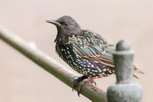 European Starling (Sturnus Vul...