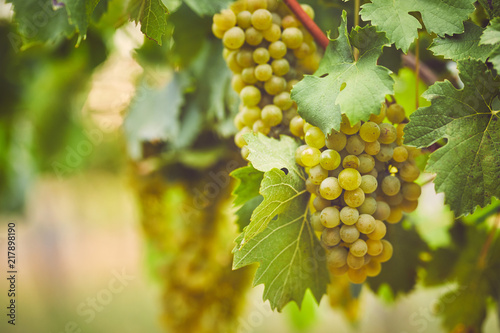 Fotografia Bunch of yellow grapes in the vineyard