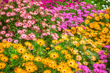 Beautiful Field Of Colorful African Daisies Dimorphoteca, Osteospermum  Like Background In Garden, Close Up