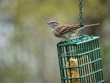 A Single Chipping Sparrow (Spi...