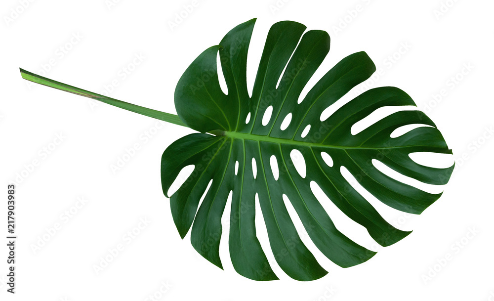 Fototapeta Green monstera plant leaf with stalk, the tropical evergreen vine isolated on white background, clipping path included