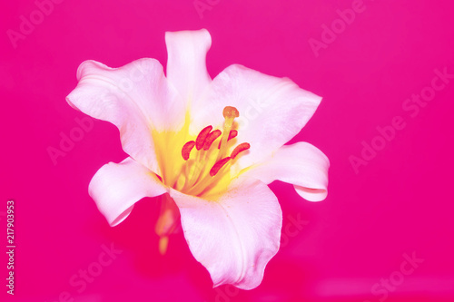 Poster Rose Bright colorful lily flowers. Floral background.