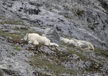 Resting Mountain Goats, Glacier Bay, Alaska