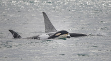 Baby Orca Swimming With Family...