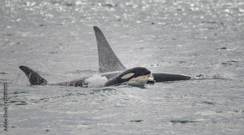 Baby Orca Swimming with Family, Alaska