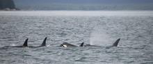 Orca Family, Icy Strait, Glacier Bay, Alaska