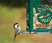 A Naughty Tiny Black Capped Chickadee Bird (Poecile Atricapillus) Perching On The Green Suet Feeder, On Blurry Garden Background, Summer In GA USA.
