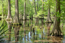 Massive Bald Cypress Trees Wit...