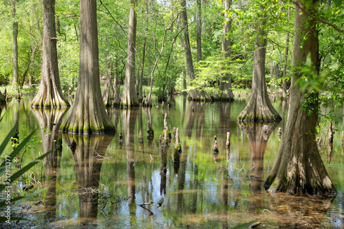 Massive Bald Cypress Trees with reflection on marsh Canvas Print