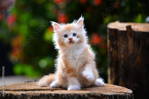 Photo Close up a playful red silver ticked Maincoon kitten on a wooden floor background by wooden stuff in evening time