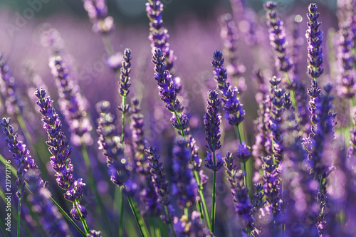 Photo Stands Lavender gros plan de brins de lavande dans un champ