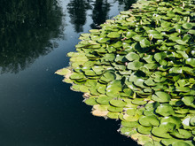 Cluster Of Lily Pads In Lake