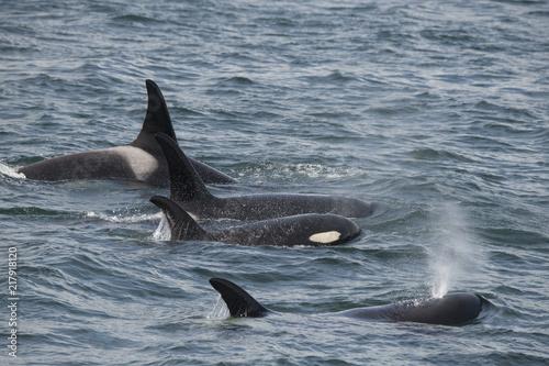 Orca Family, Icy Strait, Alaska