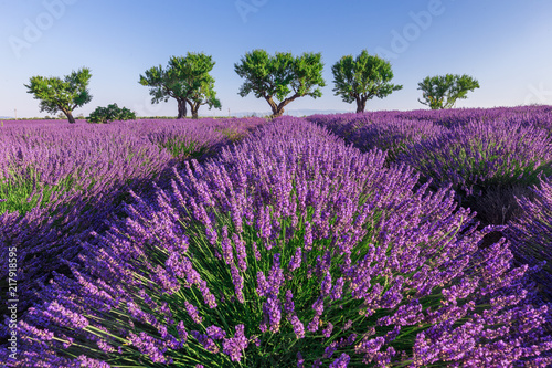 Szare   lawendowe-pole-pelne-kwiatow