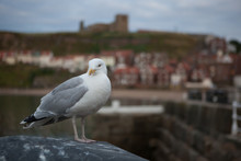 Sea Gull At Whitby Harbour With St Marys Church In The Background