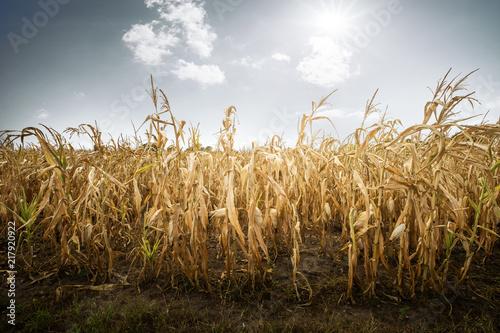 Obraz na plátně Zerstörte Ernte durch Dürre