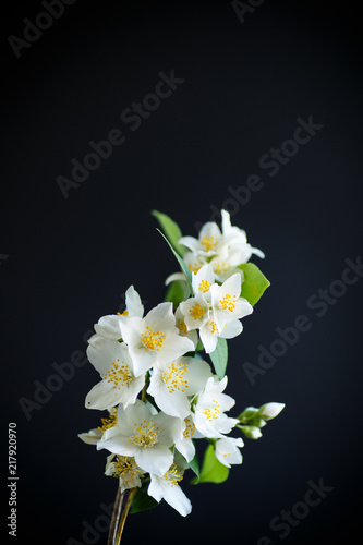blossoming jasmine flowers on a black background Wallpaper Mural
