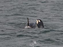 Spyhopping Baby Orca, Icy Strait, Alaska